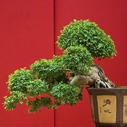 Briefmarken      des Themas Bonsai  '