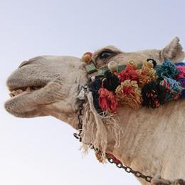Briefmarken      des Themas Kamele  '