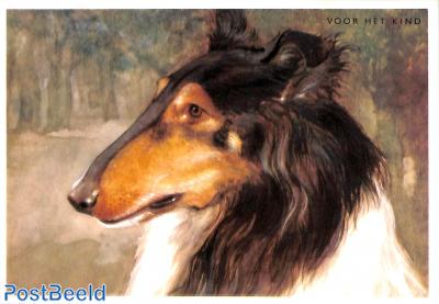 Collie, Schotse herdershond
